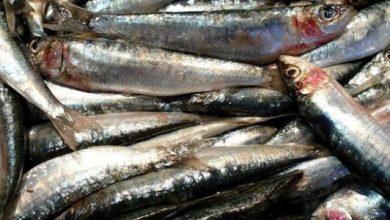 السمك المفروم وإعداد وجبات شبه جاهزة منه